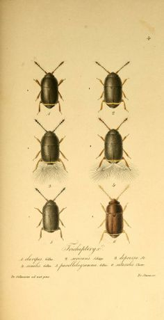 Trichopterygia, - Biodiversity Heritage Library