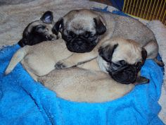 Pug Pie, they pulled their towel in the pie plate and piled in by themselves