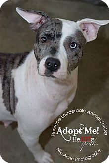 Florence, AL - Pit Bull Terrier/Catahoula Leopard Dog Mix. Meet Dahlia, a dog for adoption. http://www.adoptapet.com/pet/11731782-florence-alabama-pit-bull-terrier-mix