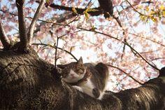Sakura Cat by Risachantag.deviantart.com on @DeviantArt
