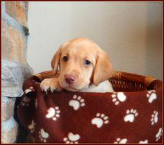 Silver Cave Labradors - Puppy Blog