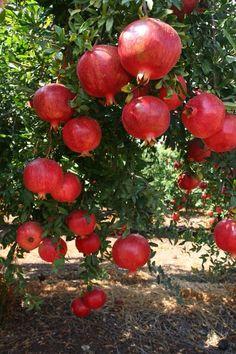 KZBH🌻  For more 📌, follow @Keftzibah 🌻✨Happy Pinning!✨ . .  Pomegranates Fruit Plants, Fruit Garden, Fruit Trees, Trees To Plant, Beautiful Fruits, Beautiful Gardens, Beautiful Flowers, Exotic Fruit, Tropical Fruits