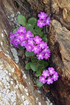 Adamello Nature Park - primula  daonensis  http://lombardiaparchi.proedi.it/parchi-montani/parco-naturale-adamello/?lang=en