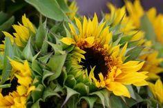 san rafael fm  pretty sunflower!