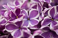 jerez72 Lilacs.