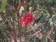 Red Gumnut flower Australian Wildflowers, Habitats, Wild Flowers, Bee, Butterfly, Plants, Honey Bees, Wildflowers, Bees