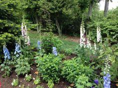 Digitalis & Delphinium in a suburban garden