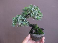 mame bonsai
