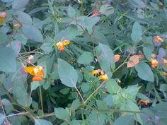 Jewelweed...wonderful for skin balm!