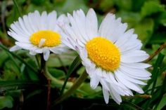 Sedmikráska Obecná (Bellis Perennis) Bellis Perennis, Plantar, Daisy, Garden, White Queen, Sunshine, Gifs, Daisy Flowers, Best Flowers