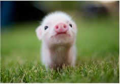 teacup pig adorable beyond words.