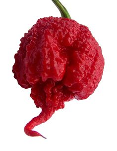 Carolina-Reaper - the hottest pepper in the world with a rating of 2,200,000 Scoville Heat Units (for reference, Tobasco tops out at 1,200 Scoville units)