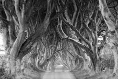 remedyloame:    wewantnothing:    treeroots:    The Dark Hedges, Northern Ireland  Reputedly haunted by a spectral 'grey lady' - these trees are thought to be around 300 years old.  by ZMB