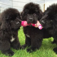 Three Adorable Little Black Newfoundland Puppies chewing on a Toy, Aww!