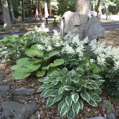 Great hosta grouping. I saw these at an RV park. The taller, flowering plants at the back are white astilbe. Placing these in front of the feature rock makes a dramatic focal point.