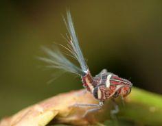Ísidos, insectos con fibra óptica Los ísidos (Issidae) son unos insectos que pertenecen a los fulgoromorfos (Fulgoromorpha).  Los fulgoromorfos se caracterizan por el parecido de sus cuerpos con las hojas de las plantas que constituyen su hábitat natural. En su comportamiento imitan con frecuencia la posición y velocidad de una hormiga que estuviera arrastrando una hoja.