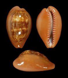 Zonaria pyrum pyrum (Gmelin, 1791)