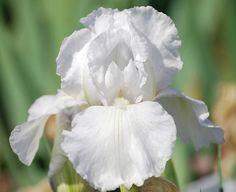 "TB Iris germanica 'Immortality' (Zurbrigg, 1982) ........................... Height: 30""; Blooms Mid Spring & Reblooms; Slight Sweet Fragrance"