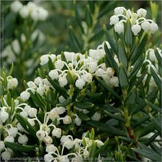 andromeda polifolia 'alba', fragrant flowers in spring White Perennial Flowers, Big White Flowers, White Flowering Plants, White Plants, Flowers Perennials, Planting Flowers, Moon Garden, White Gardens, Garden Furniture
