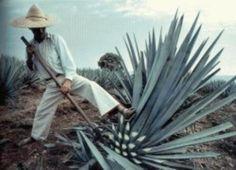 preparando el tequila