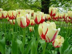 Jardines floridos hermosos on pinterest phuket thailand tulip fie - Jardines de tulipanes en holanda ...