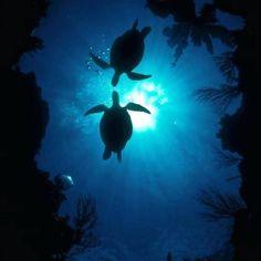 Sea Turtles in The Deep Blue Sea