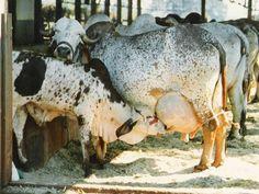Farm Animals, Animals And Pets, Cute Animals, Cebu, Gado Leiteiro, Bucking Bulls, Gyr, Dairy Cattle, Beef Cattle