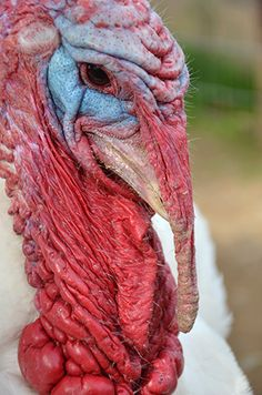 Have a veggie Thanksgiving.  Thanks, love Pepper, Farm Sanctuary Northern California Shelter