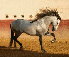 Pura Raza Española stallion Clarin AP. photo: Rafael Lemos.