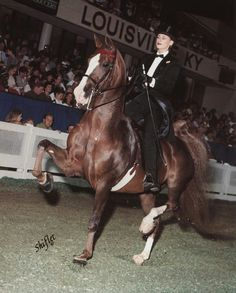 Hollywood Excellence; 1990 liver chestnut American Saddlebred mare (Attache's Born Believer x Hollywood Nights)