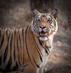 Bandhavgarh Tiger | by Ken Clacher