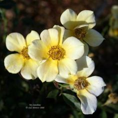 """My Sunshine rose, miniature.  1-2'H x 1-2'W.  Strong fragrance.  Small (<2""""), flat, single (1-7 petals) blooms in clusters. Good rebloom.  Thorned."""