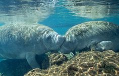 Dugong. My most favorite animal. Ever.