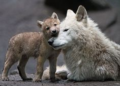 Wolf love by Joke Kok Animals And Pets, Baby Animals, Funny Animals, Cute Animals, Strange Animals, Wild Animals, Wolf Love, Animal Hugs, Spirit Animal
