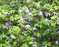 Full size picture of Large-petalled Clematis 'Blue Bird' (<i>Clematis macropetala</i>)