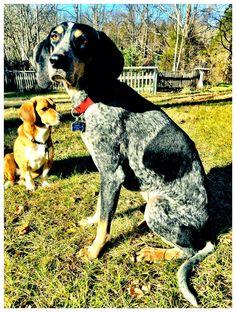 Corgy-ish and bluetick hound... Ivy and Simon