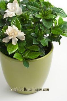 Indoor Gardenia Care Tips Gardenia Jasminoides Gardenia Plant Growing Gardenias Plants