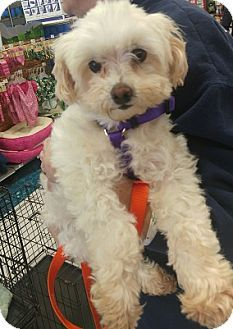 Pictures of Melody a Maltese/Poodle (Miniature) Mix for adoption in House Springs, MO who needs a loving home.