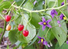 A weed that vines and chokes other plants. Berries are poisonous.  Pull it out - Bittersweet Nightshade