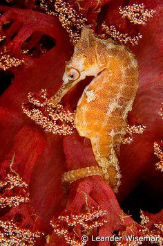 White's Seahorse and soft coral, Port Stephens, Nelson Bay, Australia