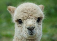 animal, lama