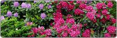 Alppiruusu - Rhododendron