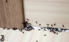 Got an ant problem? Here's how to get rid of ants using 13 common items you already own—and keep the pests away for good. Kitchen Ants, Kitchen Counters, Kitchen Items, Sugar Ants, Ant Problem, Black Ants, Get Rid Of Ants, Weed Control, How To Get Rid