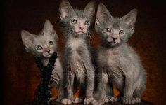 NEW BREED OF CAT.. they Lykoi cat - kittens