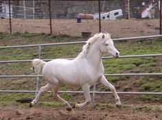 Lil Blues is 3/4 brother to brilliantly producing stallion Sup. Champion Goldhills Most Wanted.  He is a fantastic mover with the best disposition on earth!  Use him to produce fancy palomino and buckskin Sport Ponies who can JUMP!!  Goldhills Love The Blues,is co-owned w/ K.Solberg. This pony stallion is super- natural!