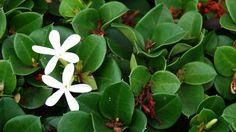 La Carissa Macrocarpa è una pianta subtropicale molto bella con grandi fiori profumati e foglie lucide