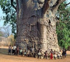 African Boabab Tree, Literally Of Life...