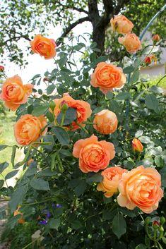 rose Lady of Shalott Lady Of Shalott Rose, All Flowers, Beautiful Flowers, Flower Bed Designs, Strawberry Garden, David Austin Roses, Rose Bush, Love Garden, Climbing Roses