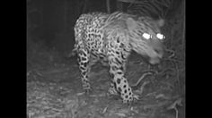 'An Unseen World' is one of 5 films that won an Award at the International Forests Short Film Festival. The film weaves together camera trap footage taken on...
