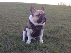 Clousseau, the French Bulldog